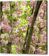 Cherry Blossoms In Spring, Milan, Italy Canvas Print