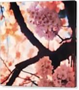 Cherry Blossoms In Washington D.c. Canvas Print