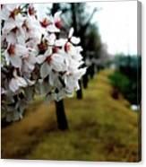 Cherry Blossoms Trail Canvas Print