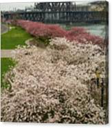 Cherry Blossoms Trees Along Portland Waterfront Canvas Print