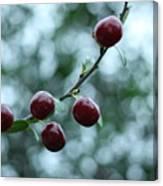 Cherry Constellation  Canvas Print