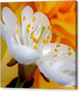 Cherry Flower In The Spring, In Profile Canvas Print
