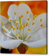 Cherry Flower In The Spring Canvas Print