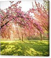 Cherry Flowers Garden Illuminated With Sunrise Beams Canvas Print