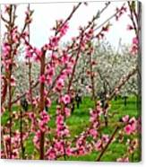 Cherry 'n' Apple Blossoms Canvas Print