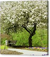 Cherry Tree In Full Bloom Canvas Print