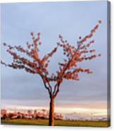 Cherry Tree Standing Alone In A Park, Lit By The Light  Canvas Print