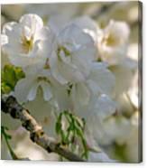 Cherryblossom Flowers 2 Canvas Print