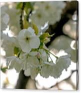 Cherryblossom Flowers 4 Canvas Print