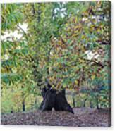 Chestnut Tree In Autumn Canvas Print