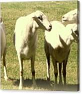 Cheviot Sheep Canvas Print