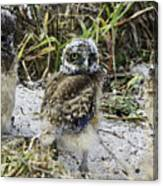 Chick Burrowing Owl  Canvas Print