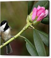 Chickadee By Rhododendron Bud Canvas Print