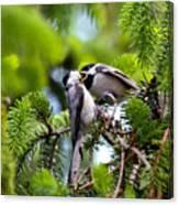 Chickadee Feeding Time Canvas Print