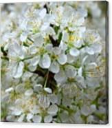 Chickasaw Plum Blooms Canvas Print