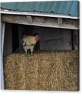 Chicken In Barn Canvas Print