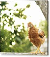 Chicken On Fence Canvas Print