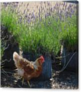 Chicken With Lavender  Canvas Print