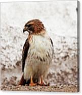 Chickenhawk Canvas Print