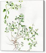 Chickweed Herb Canvas Print