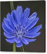 Chicory Flower Canvas Print