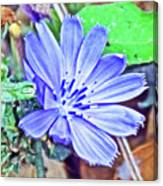 Chicory On Trail To North Beach Park In Ottawa County, Michigan  Canvas Print