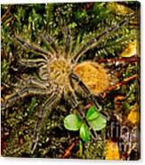 Chilean Tarantula Canvas Print