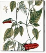 Chili Pepper, 1735 Canvas Print