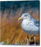 Chilling Seagull Canvas Print