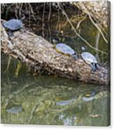Chilling Turtles  Canvas Print