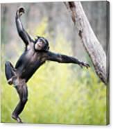 Chimp In Flight Canvas Print