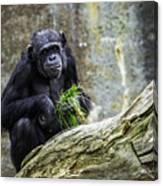 Chimpanzee Foraging Canvas Print