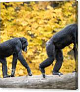 Chimpanzee Pair IIi Canvas Print