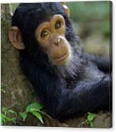Chimpanzee Pan Troglodytes Baby Leaning Canvas Print
