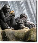 Chimpanzee Snacking On A Sunflower Canvas Print