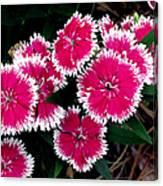 China Pinks 1 Canvas Print