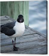 Chincoteague Island - Great Black-headed Gull Canvas Print