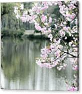 Chinese Cherry Blossoms  Canvas Print
