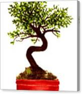 Chinese Elm Bonsai Tree Canvas Print
