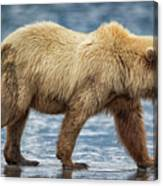 Chinitna Bay Brown Bear Canvas Print