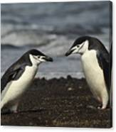 Chinstrap Penguin Duo Canvas Print