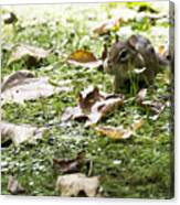 Chipmunk Getting Ready For Winter Canvas Print