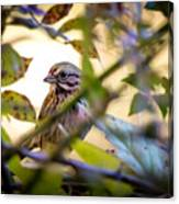 Chipping Sparrow In The Brush Canvas Print