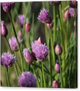 Chive Flowers Canvas Print