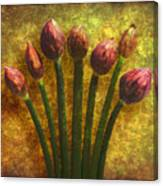 Chives Buds Canvas Print