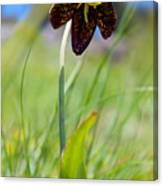 Chocolate Lily Two Canvas Print