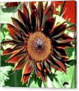 Chocolate Sunflower Canvas Print