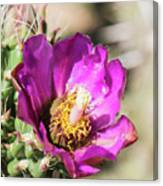 Cholla Flower Canvas Print