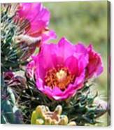 Cholla In Bloom Canvas Print