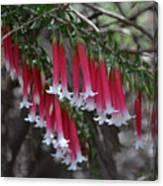 Christmas Bells 1 - Australian Native Fuchsia Canvas Print